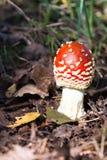 Cogumelo comestível bonito Imagens de Stock