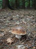 Cogumelo comestível de Penny Bun na floresta outonal fotografia de stock