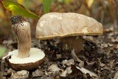Cogumelo comestível do boleto fotos de stock