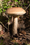 Cogumelo comestível na madeira Fotos de Stock