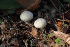 Cogumelo comestível - um raincoat é acanthceous Imagens de Stock Royalty Free