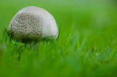 Cogumelo comum - botão Foto de Stock