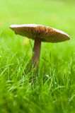 Cogumelo comum do jardim Imagem de Stock