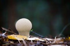Cogumelo comum do Puffball Fotografia de Stock