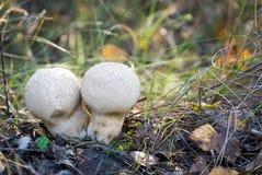 Cogumelo comum do Puffball Imagens de Stock
