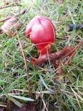 Cogumelo comum do tampão da cera Imagem de Stock