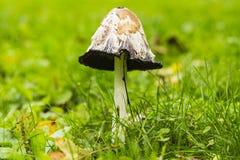 Cogumelo comum do tampão da tinta, aka amargura dos alcoólatras & x28; Atrament de Coprinopsis Imagem de Stock