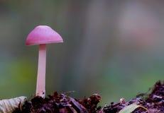 Cogumelo cor-de-rosa Fotografia de Stock