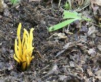Cogumelo coral amarelo Imagens de Stock Royalty Free
