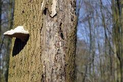 Cogumelo da árvore Imagens de Stock Royalty Free