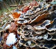 Cogumelo da árvore Imagens de Stock