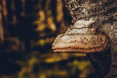 Cogumelo da árvore na floresta imagens de stock royalty free