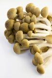 Cogumelo da faia de Brown Imagem de Stock