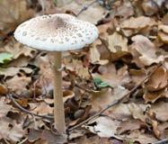Cogumelo da floresta Foto de Stock
