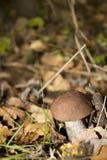 Cogumelo da floresta Fotografia de Stock