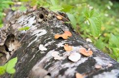 Cogumelo da montanha profunda fotografia de stock