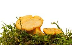Cogumelo da prima Imagem de Stock