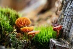 Cogumelo de Brown Fotos de Stock