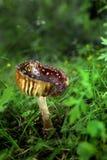 Cogumelo de Brown Foto de Stock Royalty Free