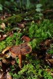 Cogumelo de Brown Imagens de Stock