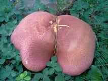 Cogumelo de Brown do gigante Imagem de Stock Royalty Free