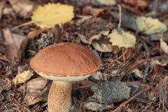 Cogumelo de Brown na estação do outono Imagens de Stock Royalty Free
