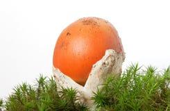 Cogumelo de Caesarea do amanita Fotos de Stock Royalty Free
