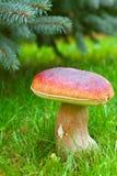 Cogumelo de Cepe Fotos de Stock