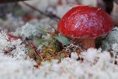 Cogumelo de Cepe Imagem de Stock