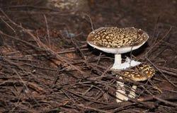 Cogumelo de duas moscas no agaric de mosca da floresta do pinho ou no amanita de mosca fotografia de stock royalty free