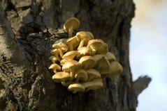 Cogumelo de Enoki foto de stock
