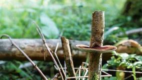 Cogumelo de madeira Imagens de Stock Royalty Free