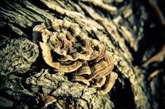 Cogumelo de madeira em uma árvore Imagens de Stock Royalty Free