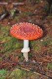Cogumelo de Muscaria do amanita Foto de Stock