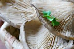 Cogumelo de ostra Imagens de Stock Royalty Free