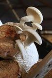 Cogumelo de ostra Fotos de Stock Royalty Free