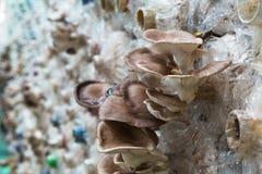 Cogumelo de ostra de Butão na exploração agrícola, interna Foto de Stock