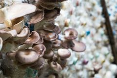 Cogumelo de ostra de Butão na exploração agrícola, interna imagens de stock royalty free