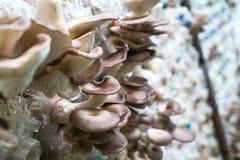 Cogumelo de ostra de Butão na exploração agrícola, interna Imagens de Stock