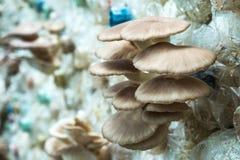 Cogumelo de ostra de Butão na exploração agrícola, interna Imagem de Stock Royalty Free