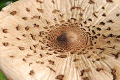 Cogumelo de parasol Fotos de Stock Royalty Free