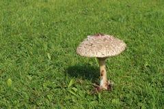 Cogumelo de parasol Foto de Stock