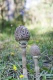 Cogumelo de parasol Imagens de Stock Royalty Free