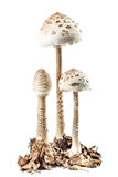 Cogumelo de parasol Fotografia de Stock