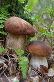 Cogumelo de Porcini foto de stock