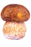 Cogumelo de Porcini Fotografia de Stock
