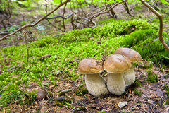 Cogumelo de Porcini Fotos de Stock Royalty Free