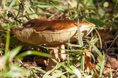 Cogumelo de Porcini Foto de Stock Royalty Free