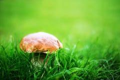 Cogumelo de Porcini na grama Imagens de Stock
