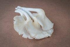 Cogumelo de Sajor-caju Fotos de Stock Royalty Free